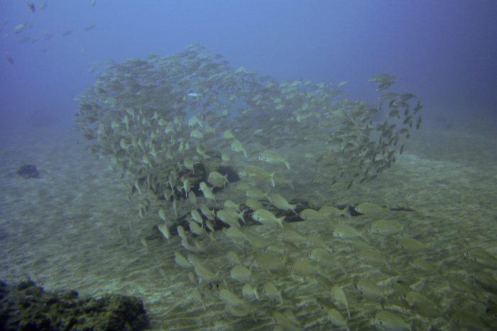 7 Mares banco de peces en canarias