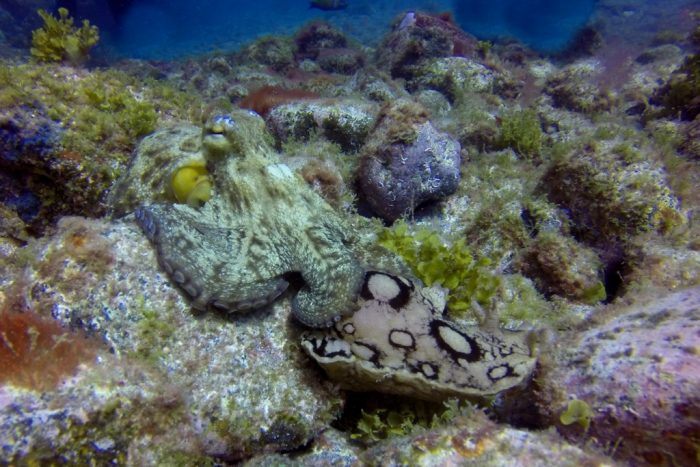 7 Mares pulpo en Islas Canarias