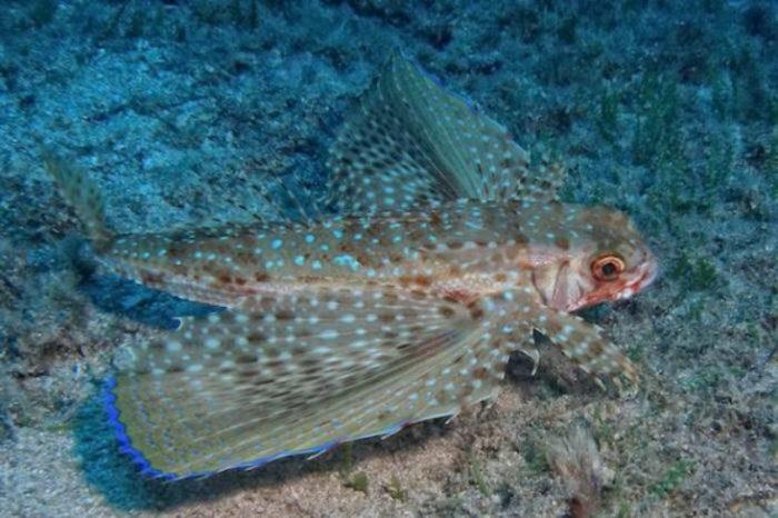 Buceo Altea Celacanto golondrina en isla de benidorm