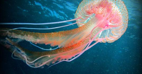 Buceo Sur Medusa