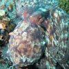 Buceo con pulpos Mergullo Viveiro en Galicia