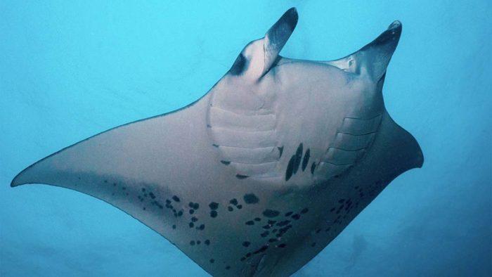 Buceo y Viajes mantas Guraidhoo Islas Maldivas