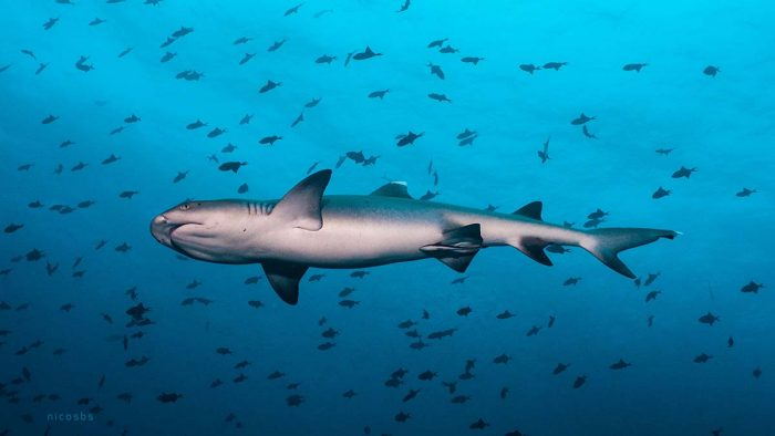 Buceo y Viajes tiburones Guraidhoo Islas Maldivas