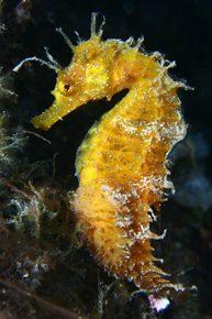 Caballito de mar - Buceo Aguadulce