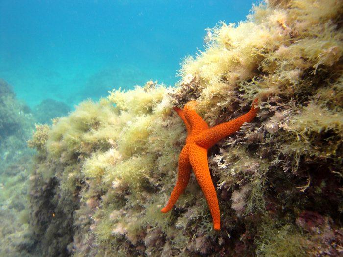 Estrella-de-mar-en-Buceo-Aguadulce