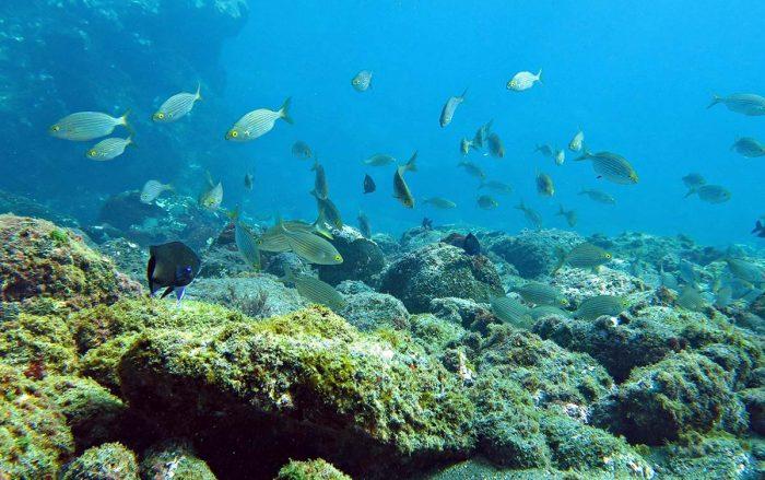 Fauna submarina Ocean Dreams Tenerife