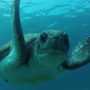 Ocean Dreams Tenerife tortuga buceo