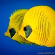 Pez amarillo en el Mar Rojo - Ultima Frontera