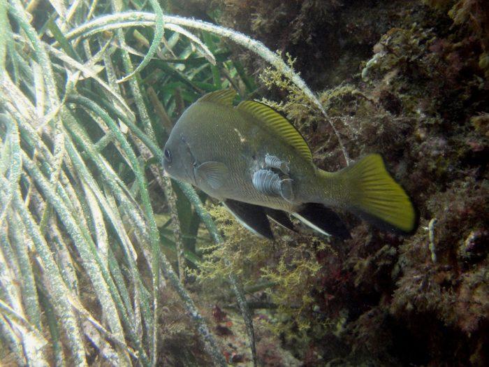 Pez-durante-inmersión-en-Buceo-Aguadulce