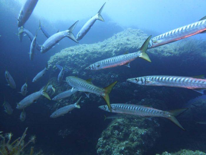 Salgar Menorca peces inmersiones de buceo