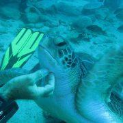 Tortuga se deja acariciar buceo Ocean Dreams Tenerife